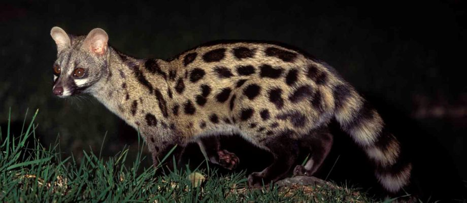 African Spotted Genet