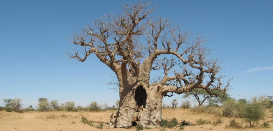 The Great Baobab