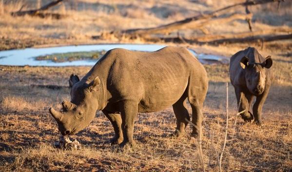Rhino in Victoria Falls