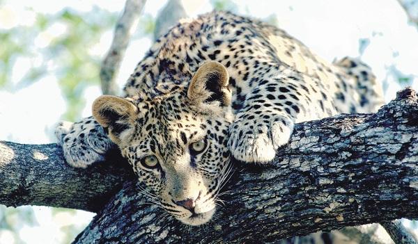 Leopard in Victoria Falls