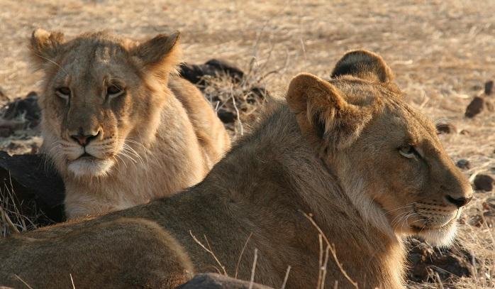 Lion Victoria Falls