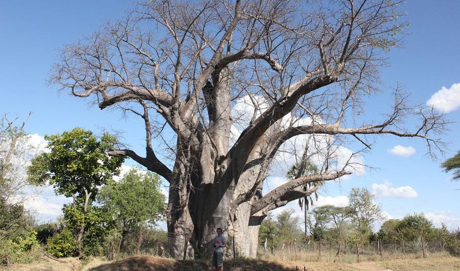 Baobab Victoria Falls