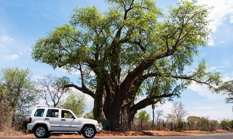 Big Tree Victoria Falls