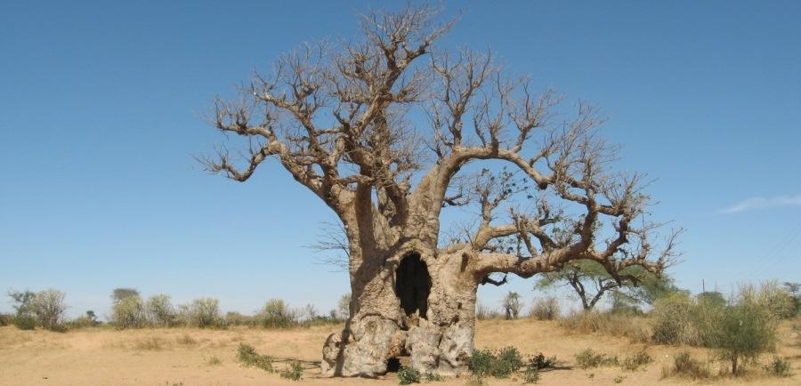 The Upside Down Tree Of Life Ilala